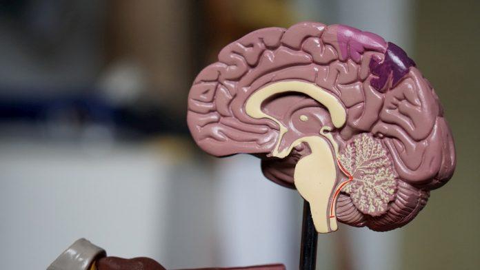 représentation cerveau humain