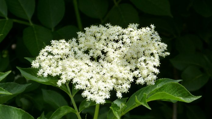 fleurs phytothérapie